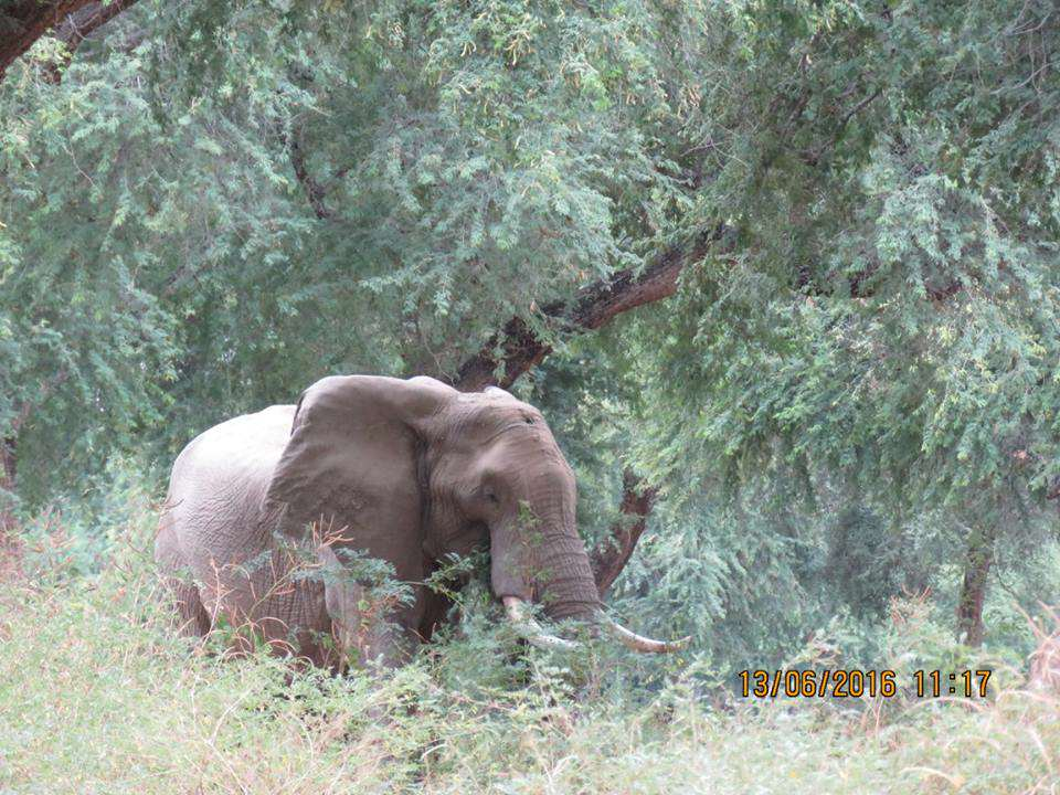 Elephant Shot In The Head By Poachers Miraculously Survives 13394201 989297911123599 2630072363789138163 n