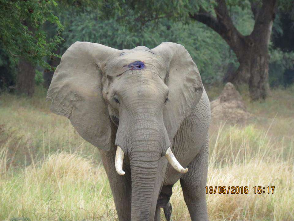 Elephant Shot In The Head By Poachers Miraculously Survives 13432303 989303771123013 5556034182650623259 n