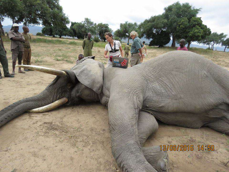Elephant Shot In The Head By Poachers Miraculously Survives 13434708 989299667790090 6492917602382096612 n