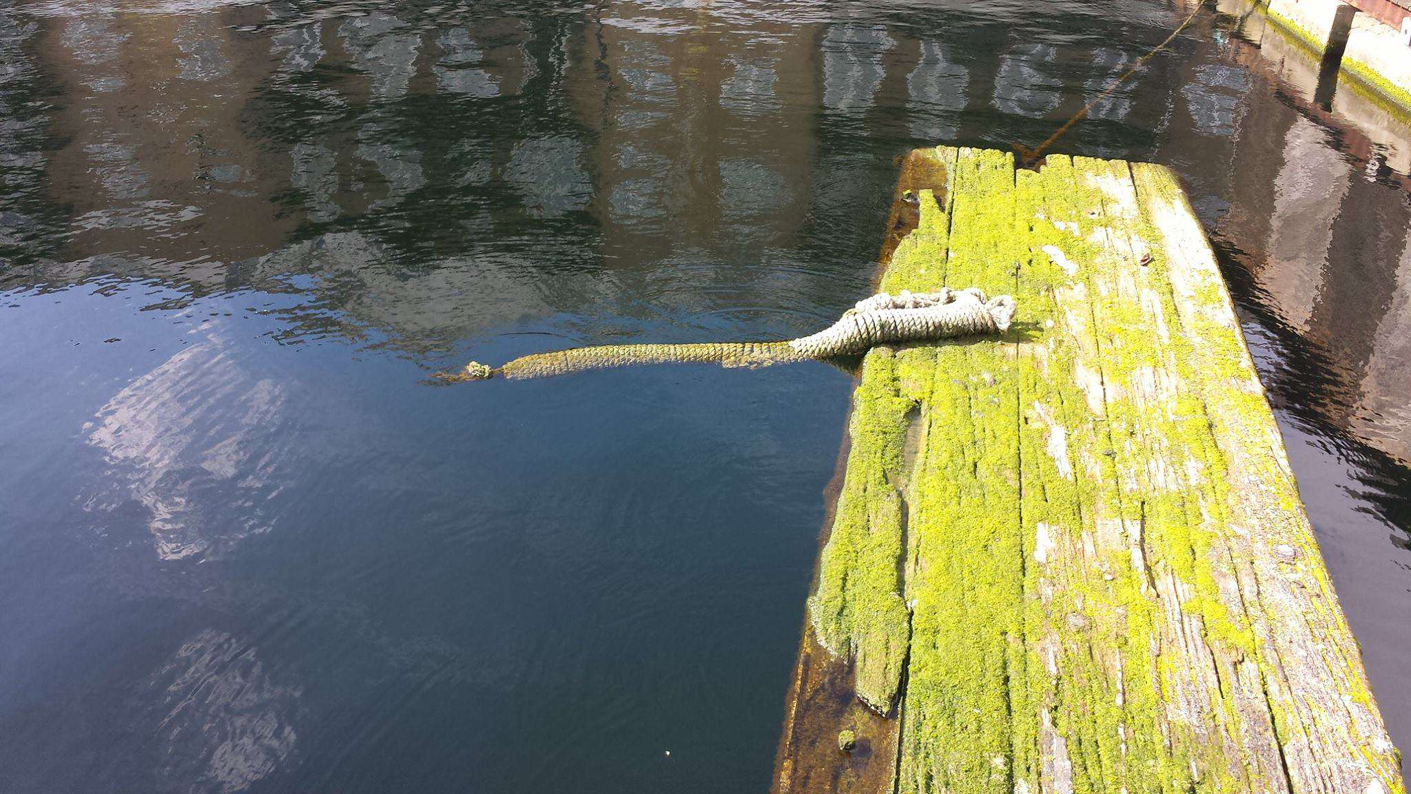 Britains First Wild Crocodile Spotted In River 13559113 1182010251843579 5619429096940091575 o