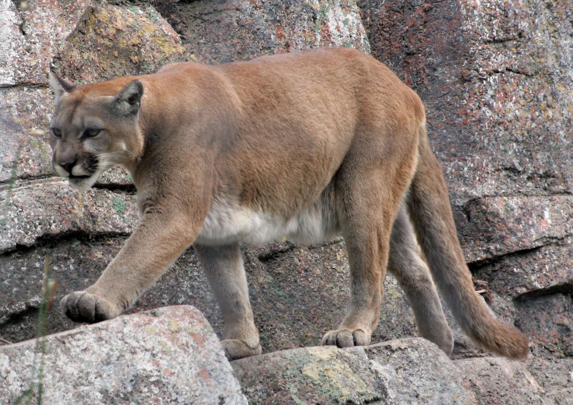 Mum Rescues Five Year Old Son From Jaws Of Mountain Lion 1413305571 800f2cbcc8 o