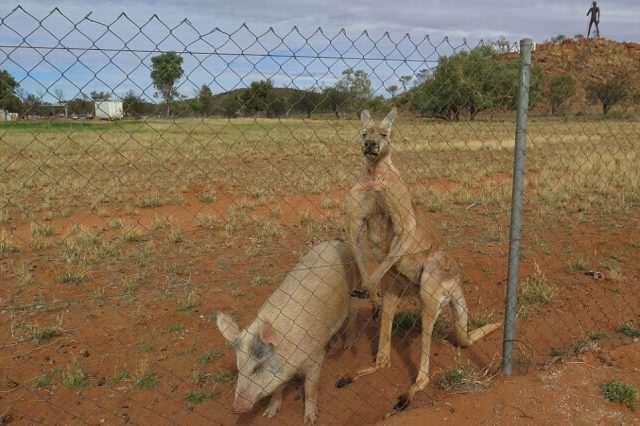 Can You Guess Which Of These Animals Are Having An Intense Sexual Relationship? 351C6C3000000578 3634548  I tried to take the pig away the other day and the kangaroo alm a 7 1465528466458 640x426