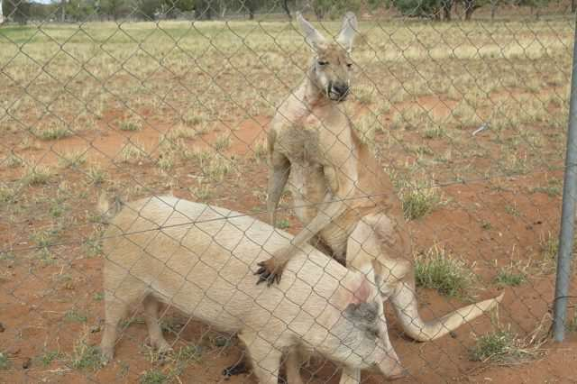 Can You Guess Which Of These Animals Are Having An Intense Sexual Relationship? 351C6C5D00000578 0 A kangaroo and a pig have been photographed having sex in a padd a 34 1465527905260 1 640x426