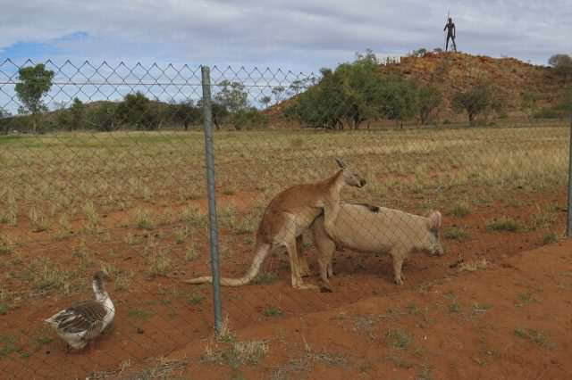 Can You Guess Which Of These Animals Are Having An Intense Sexual Relationship? 351C6F0500000578 0 After a few minutes the kangaroo moved to the back of the pig an a 36 1465527905383 640x426