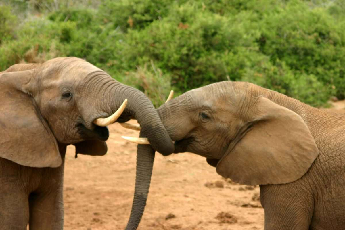 Obama Might Have Just Saved Elephants From Extinction Elephants mating ritual 2 wikimedia commons 1200x800