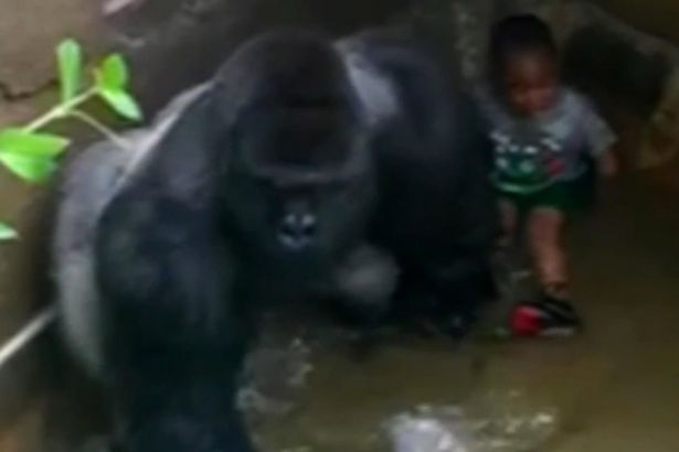 Emotional 911 Call From Mother Whose Son Fell In Gorilla Cage Released VID Harambe a male silverback gorilla at Cincinnati Zoo 1