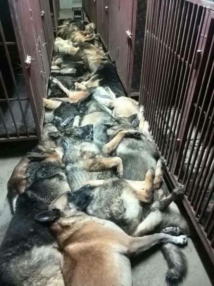 Horrific Photos Show Slaughter Of Dozens Of Sniffer Dogs dogs1