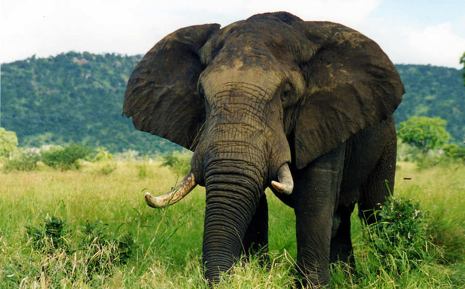 Obama Might Have Just Saved Elephants From Extinction elephant in the wild pv free stock photo