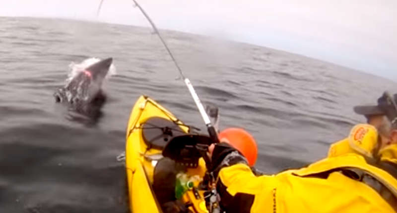 Terrifying Video Shows Moment Kayak Fisherman Catches Shark In Ireland face shark