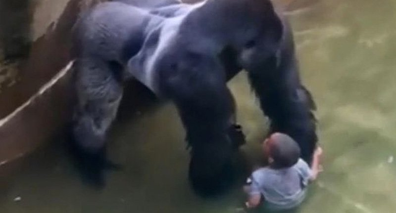 Emotional 911 Call From Mother Whose Son Fell In Gorilla Cage Released gor fb 1