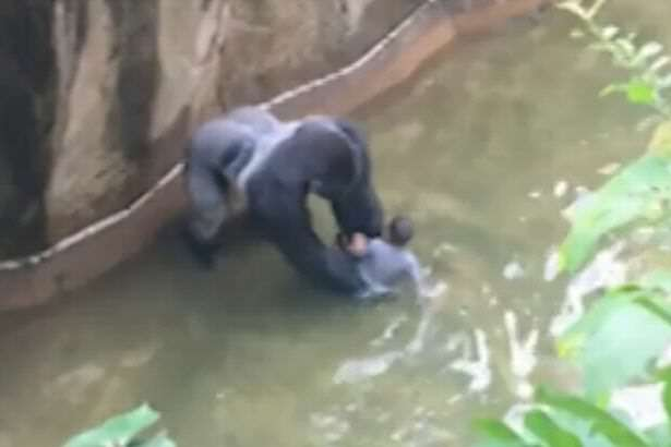 Prosecutors Decide Fate Of Mother Of Boy Who Fell In With Gorillas gorilla1 1