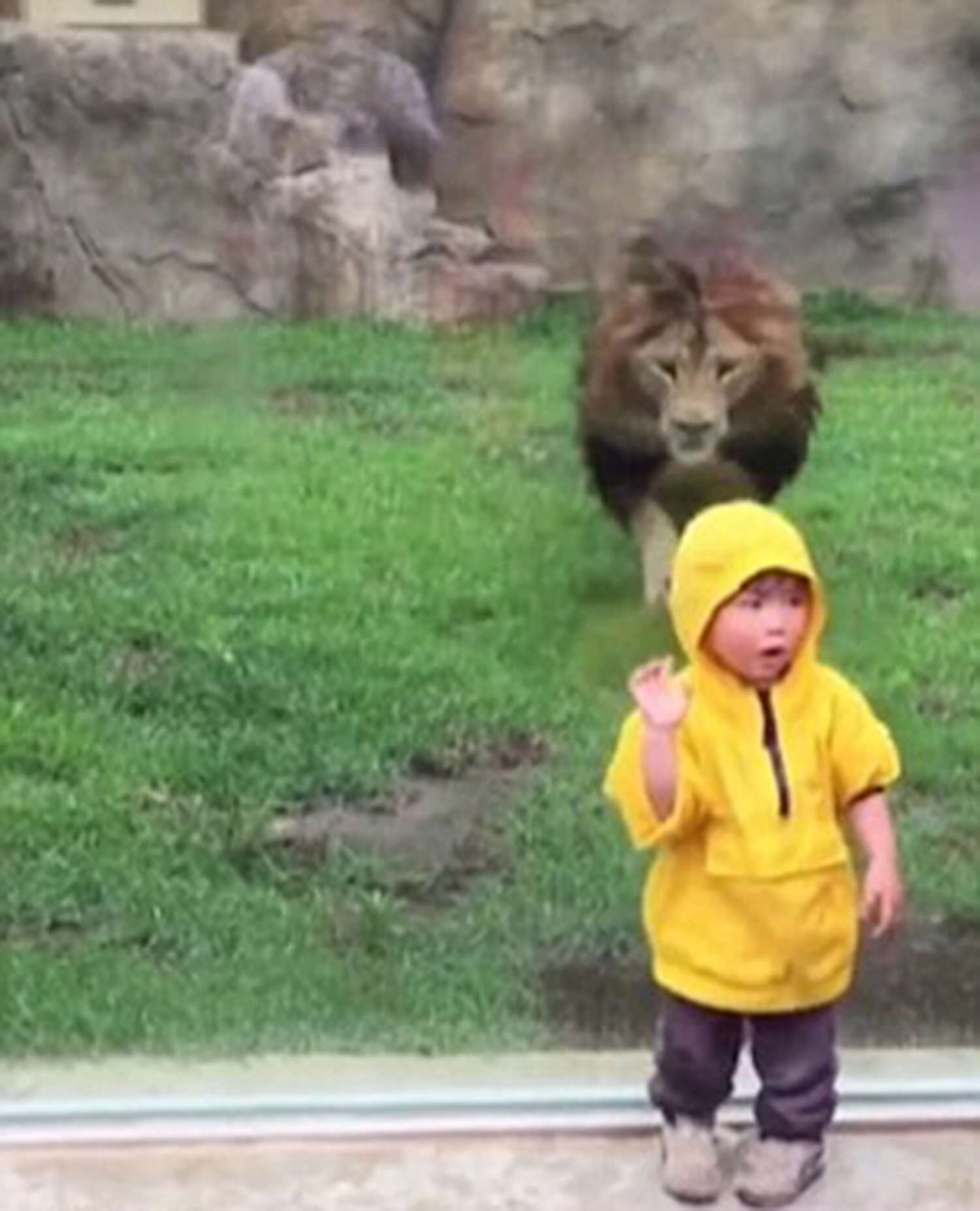 Terrifying Moment Lion Tries To Attack Toddler In Zoo lion 4 2911061a