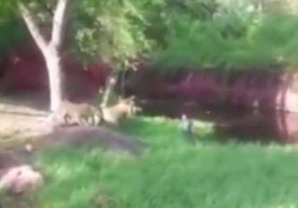 This Video Of Guy In Lion Pen Ends Very Differently To Harambe The Gorilla lion2