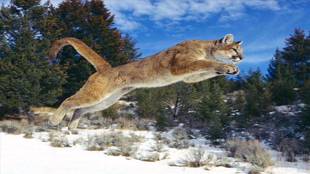 Mum Rescues Five Year Old Son From Jaws Of Mountain Lion maxresdefault 1 9