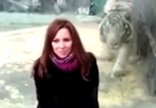 Another Tiger Pounces At Zoo Visitor As Trend Goes Too Far tiger1