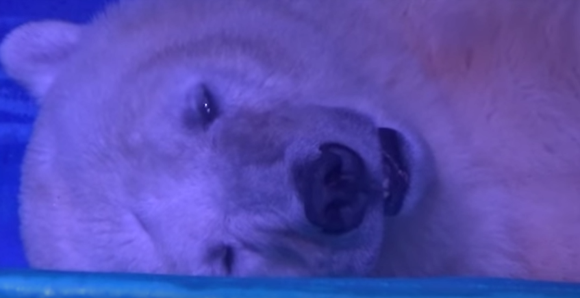 Shopping Centre Traps Polar Bear So People Can Take Selfies With It Screen Shot 2016 07 11 at 09.50.14