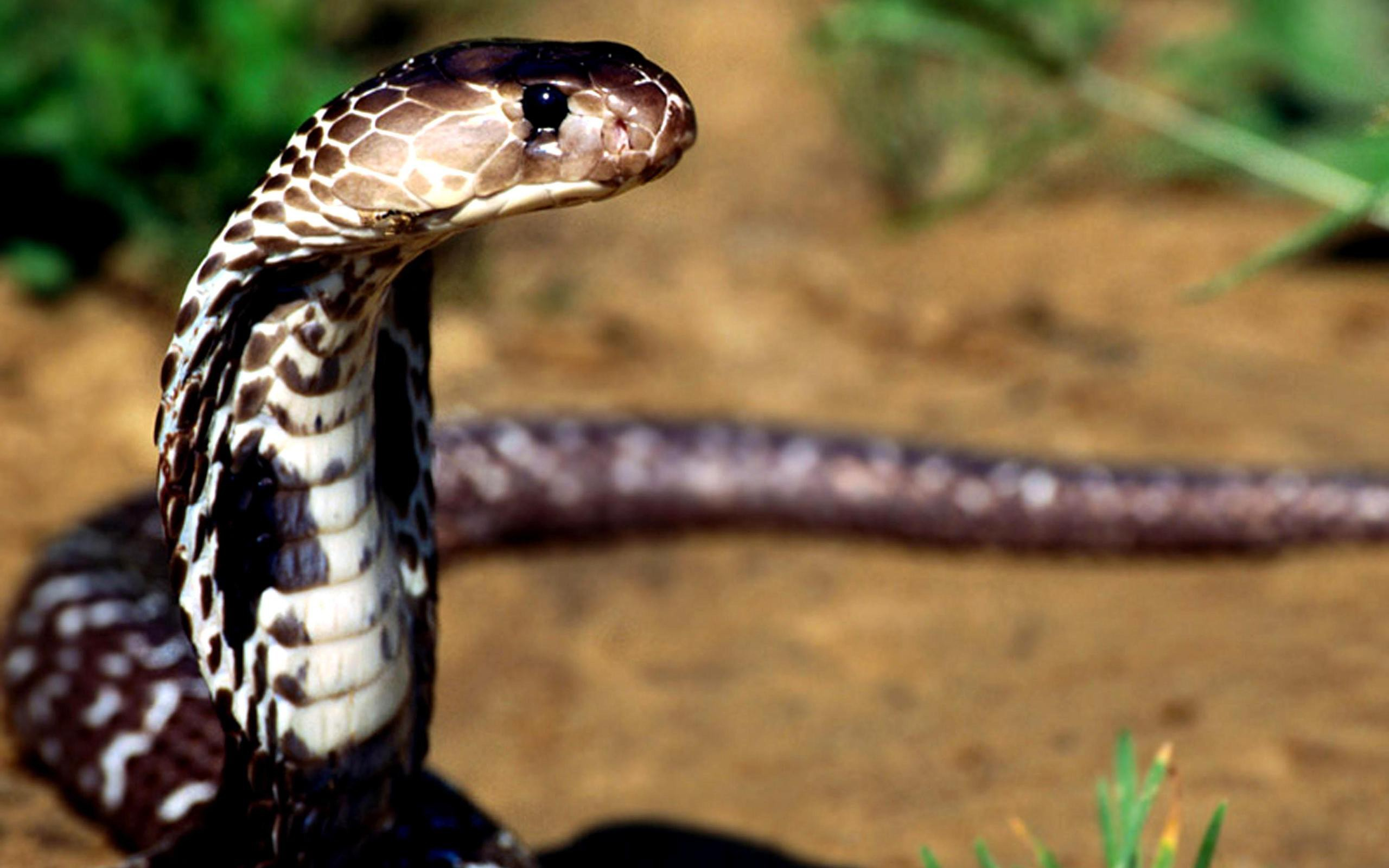 Heroic Dog Dies After Saving Family From Deadly Cobras cobra1