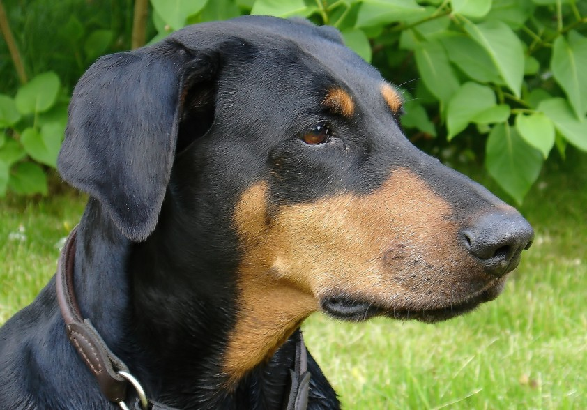 Heroic Dog Dies After Saving Family From Deadly Cobras doberman1
