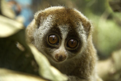 These Animals Like Getting Drunk As Much As Humans Do loris1