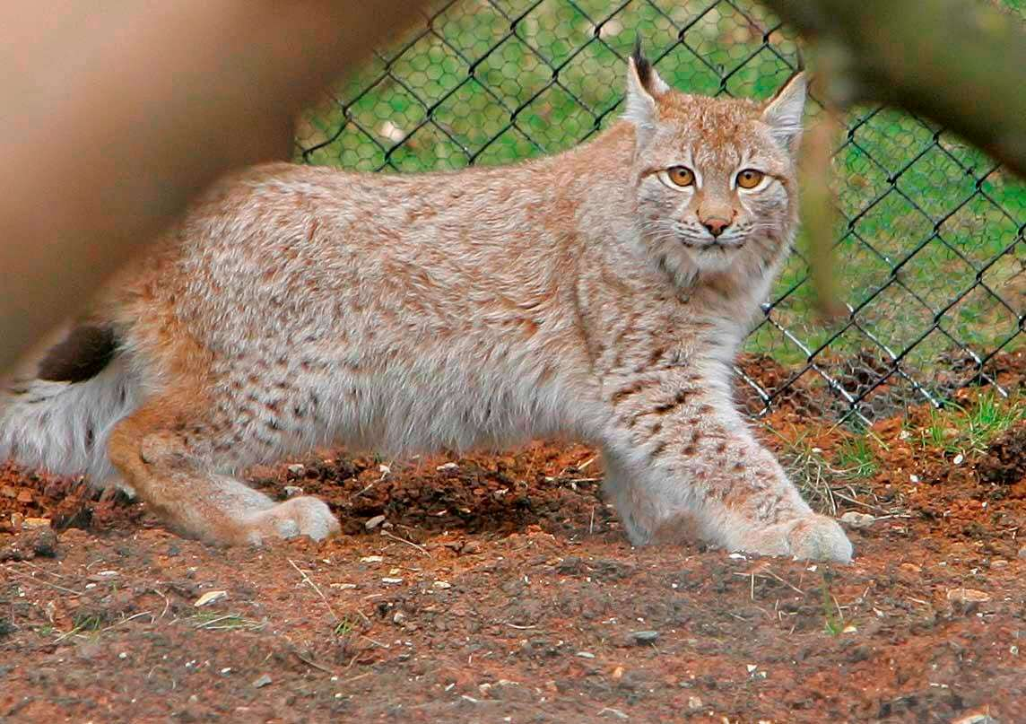 Runaway Lynx Fools Zookeepers With Second Daring Escape lynx2