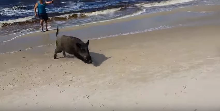 Boar Emerges From The Sea, Unleashes Fury On Beachgoers vid 2 5