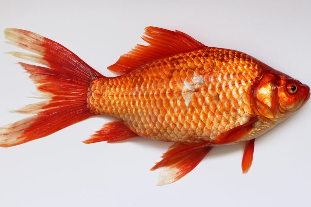 Australia Is Being Invaded   By F*cking Massive Goldfish Carassius wild golden fish 2013 G1 640x426