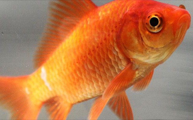 Australia Is Being Invaded   By F*cking Massive Goldfish Common goldfish 640x400