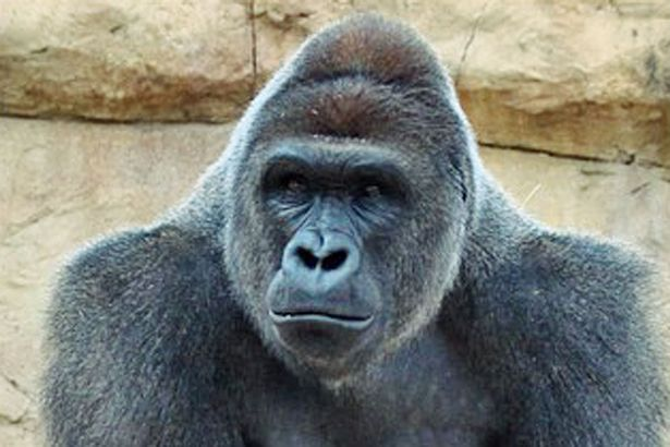 Harambe Is Latest Celebrity To Have Sex Tape Leaked Online Harambe at Gladys Porter Zoo before being relocated to Cincinnati Zoo 1