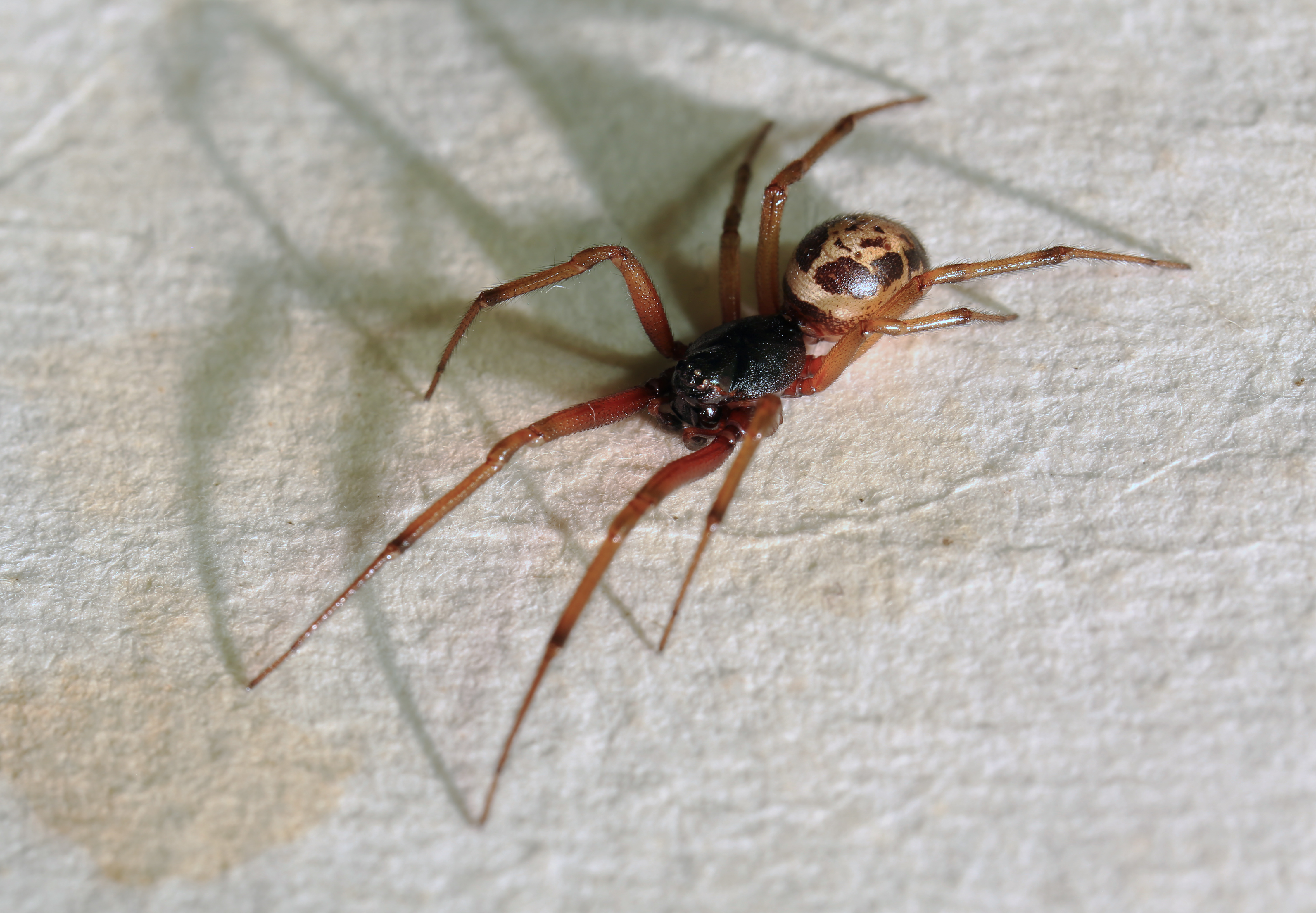 As False Widow Spiders Spread, Heres How To Spot One And Treat Bite Steatoda nobilis Noble False Widow Spider UK