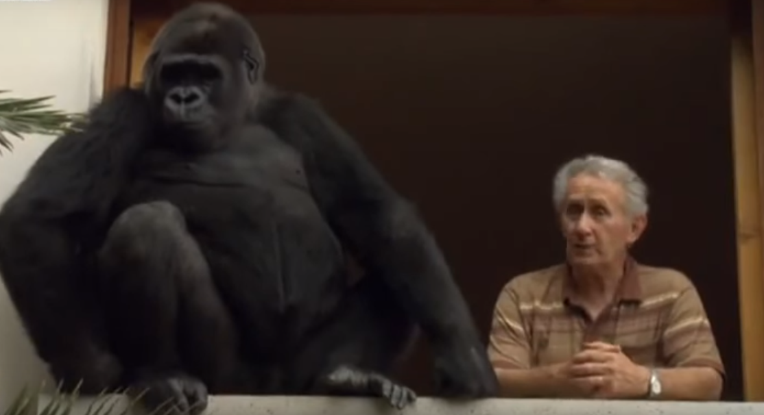 Meet The Gorilla Whos Lived With A Human Couple For 18 Years q