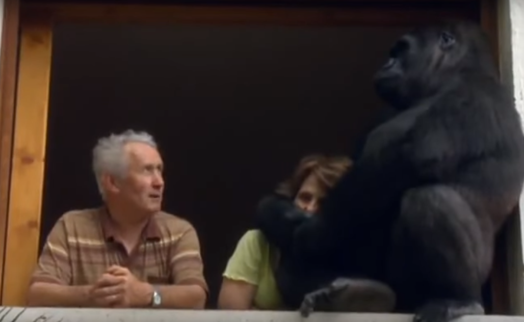 Meet The Gorilla Whos Lived With A Human Couple For 18 Years r