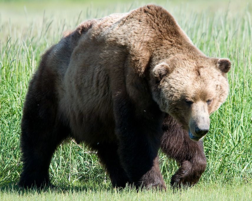 Terrifying Ways Creatures Are Evolving Just To F*ck With Us Brown bear