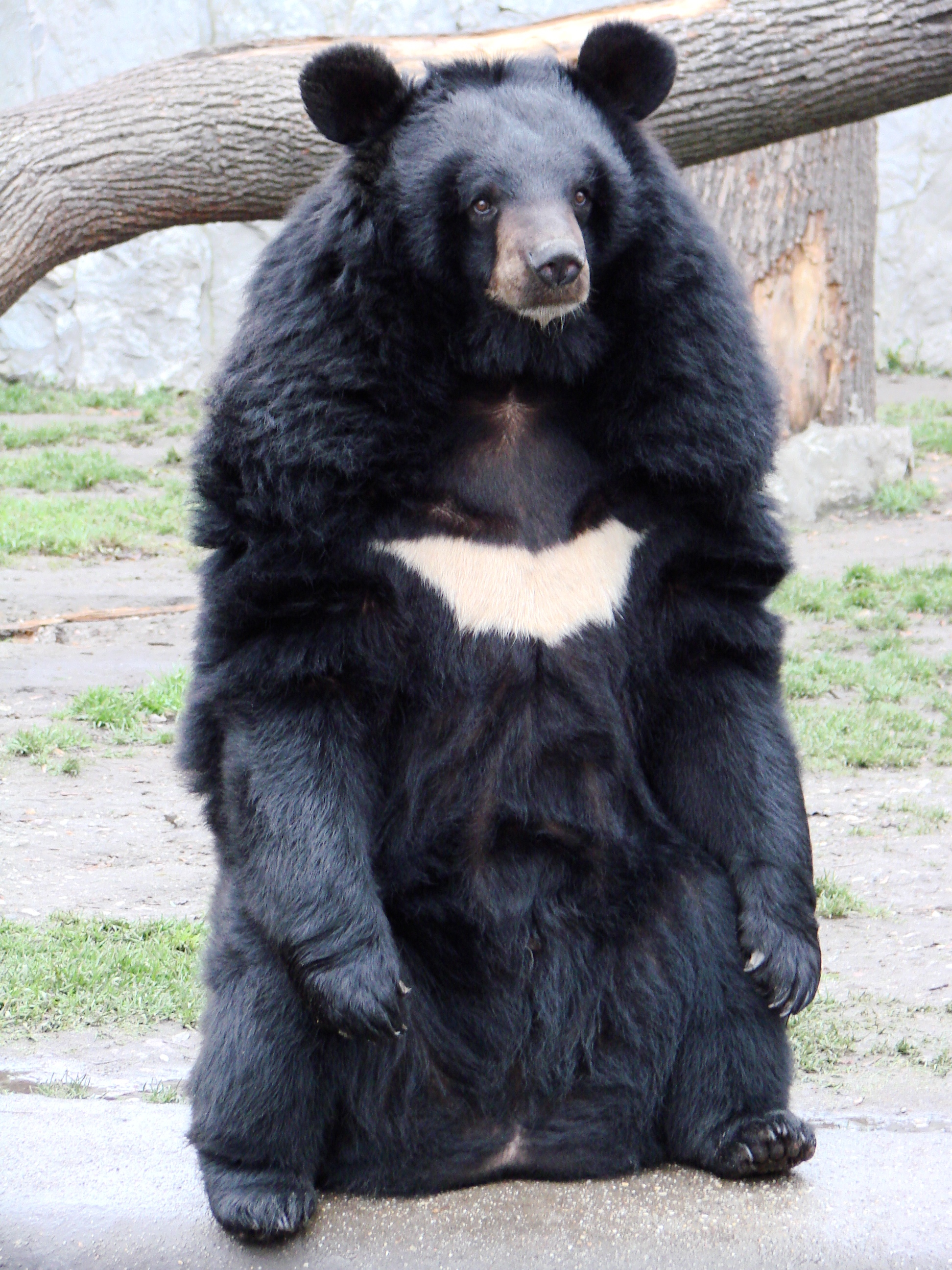63 Year Old Fisherman Fights Off Bear With Karate Ursus thibetanus 3 Wroclaw zoo