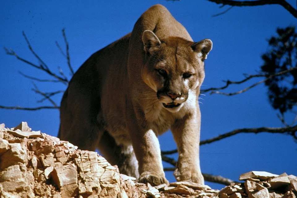 Man Captures Clear Photo Of Wild Puma In UK cougar 718092 960 720 1