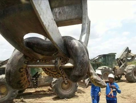 Workmen Find Largest Snake On Earth And Its Terrifying nintchdbpict000269676844