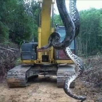 Workmen Find Largest Snake On Earth And Its Terrifying nintchdbpict000269676847