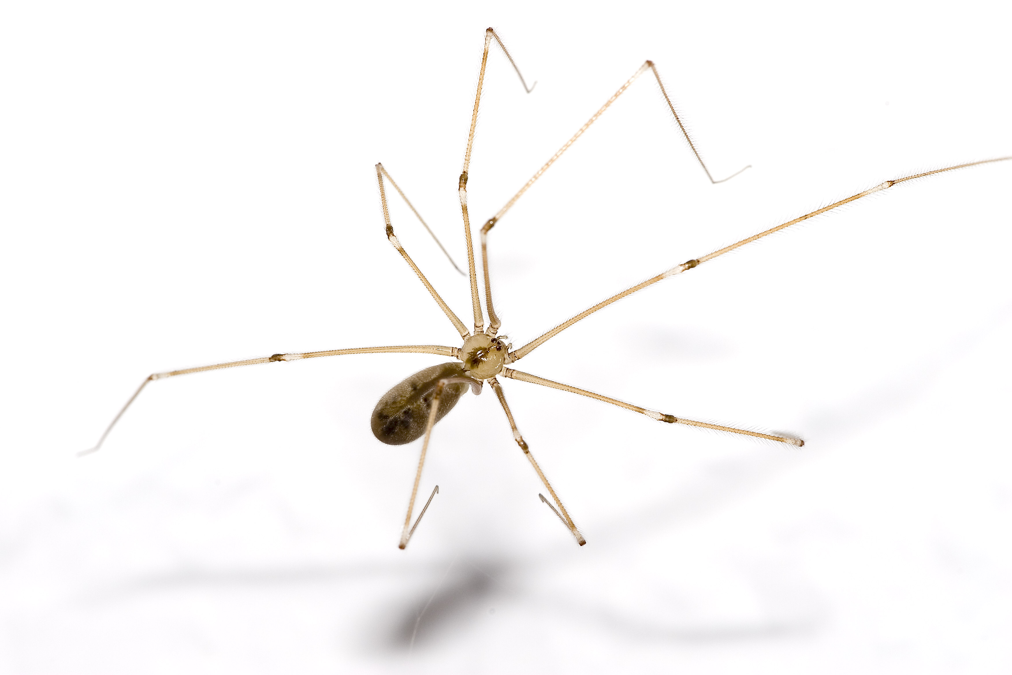 Are Daddy Longlegs Spiders Or Not? pholcus1