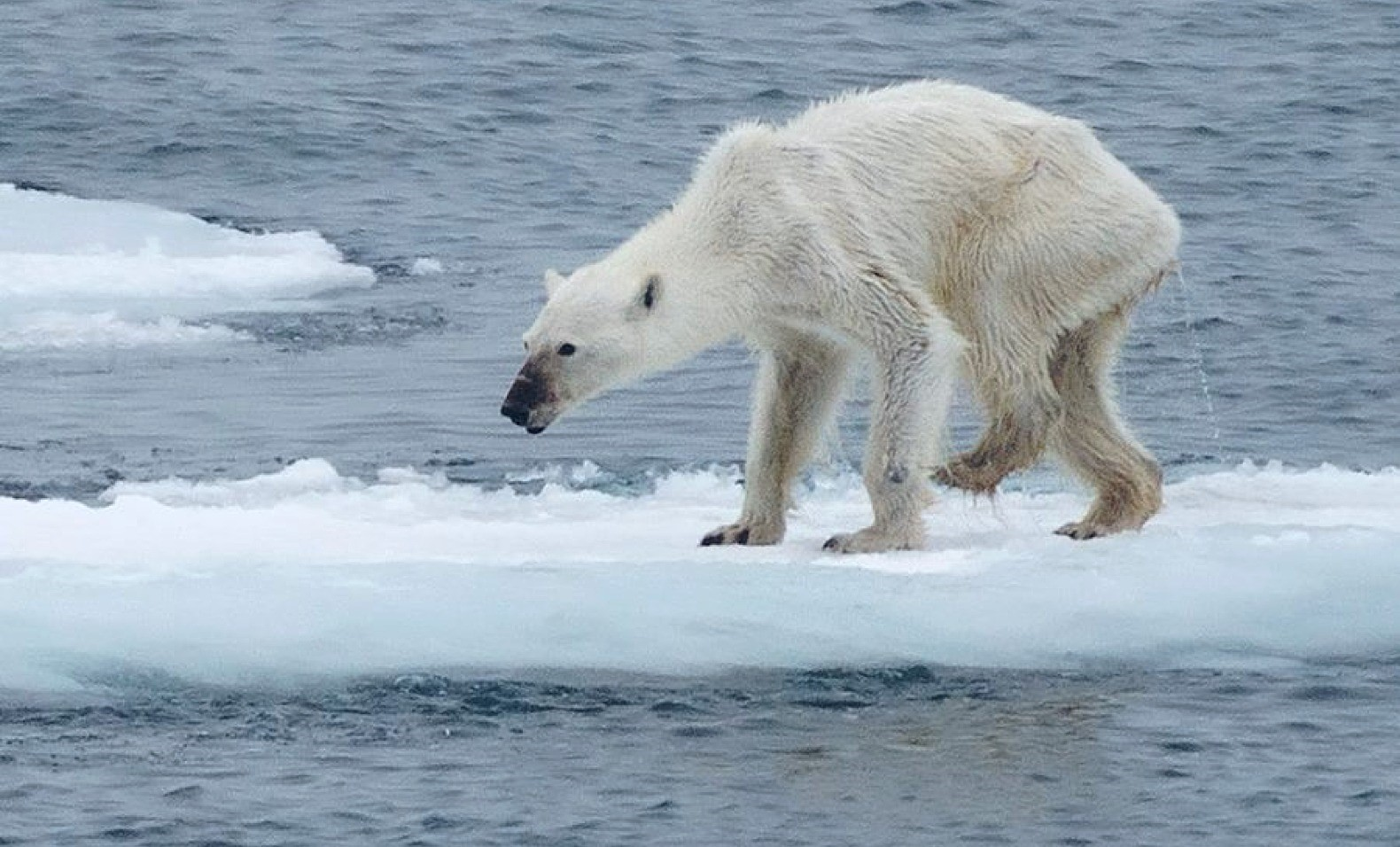 Worlds Two Biggest Polluters Join Historic Climate Change Deal polar bear tragedy svalbard norway 1