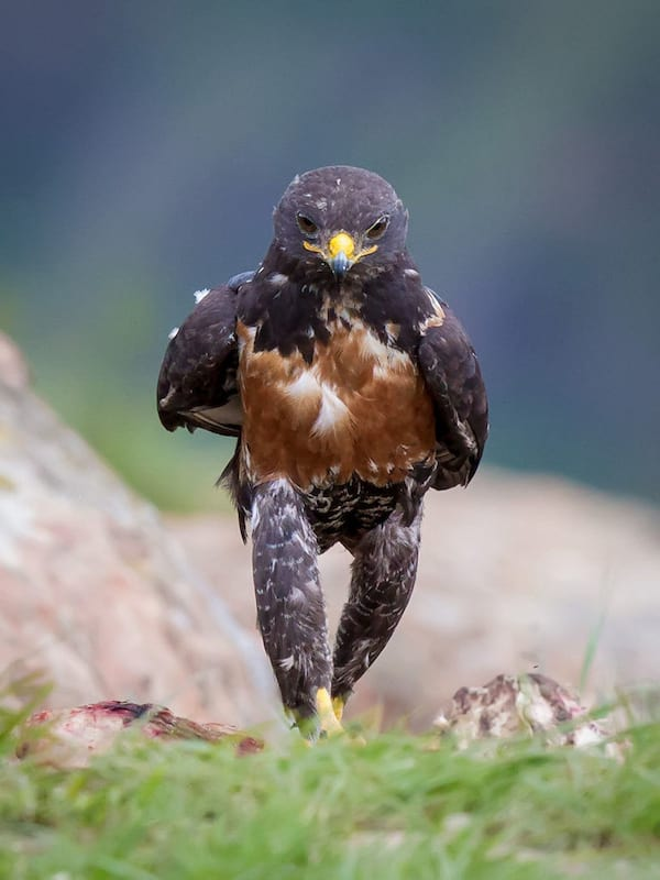 funny-hawk-photoshop-battle-original