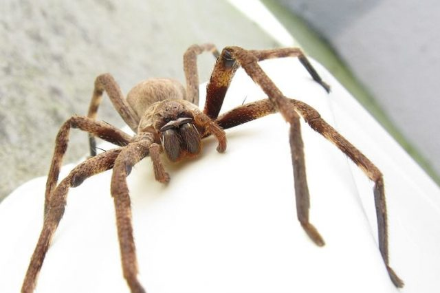 Spiders Could Eat The Entire Human Race In Just One Year If They Wanted 25323UNILAD imageoptim Huntsman spider Jon Richfield Wikimedia 640x426