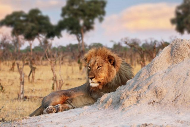 Cecil The Lions Brother Found Dead, Foul Play Investigated 12474UNILAD imageoptim PA 29056405 640x426