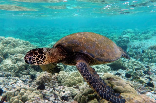 Complete Idiots Slammed By RSPCA After Surfing On Top Of Turtle 17462UNILAD imageoptim Green turtle swimming over coral reefs in Kona 640x426