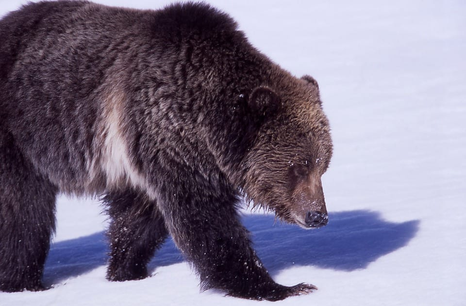 David Attenboroughs Producer Reveals The Dangers Of Recording 38867UNILAD imageoptim grizzly bear 1106384 960 720