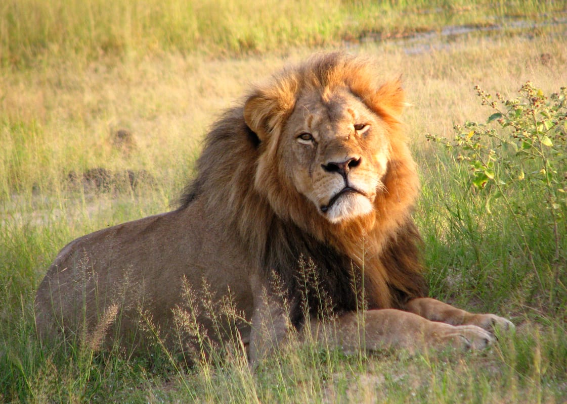 Charges Dropped Against Cecil The Lion Hunter 40993UNILAD imageoptim Cecil the lion at Hwange National Park 4516560206