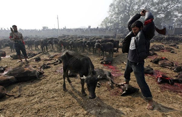 Vegans And Vegetarians Actually Help Kill Animals, Heres How 47503UNILAD imageoptim Nepal animal cruelty 2