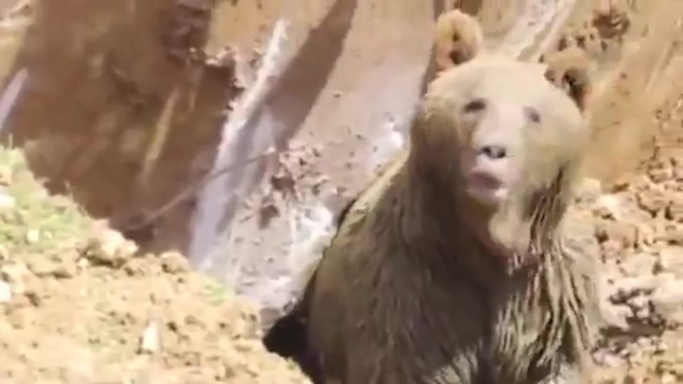 Bizarre Moment Workmen Dig Up A Live Bear 48679UNILAD imageoptim nintchdbpict000285321044