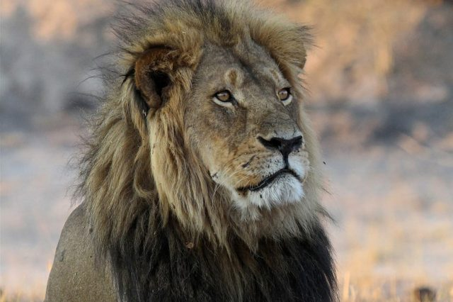 Cecil The Lions Brother Found Dead, Foul Play Investigated 51751UNILAD imageoptim PA 26762235 640x426