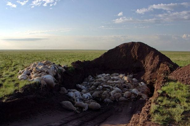 Planet Earth II Crew Horrified To See 150,000 Antelopes Die In Front Of Them 63121UNILAD imageoptim saiga carcasses