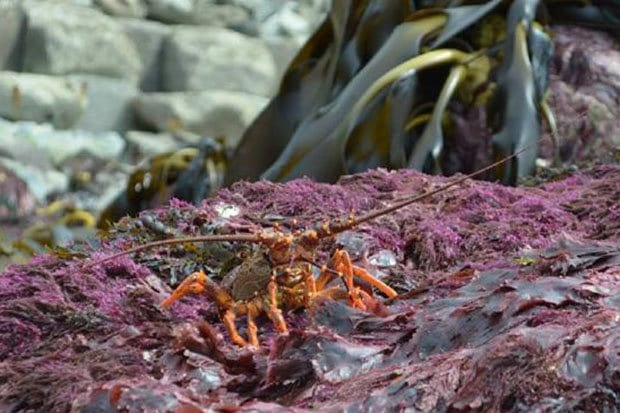 crayfish-alien-rocks-new-zealand-video-716276