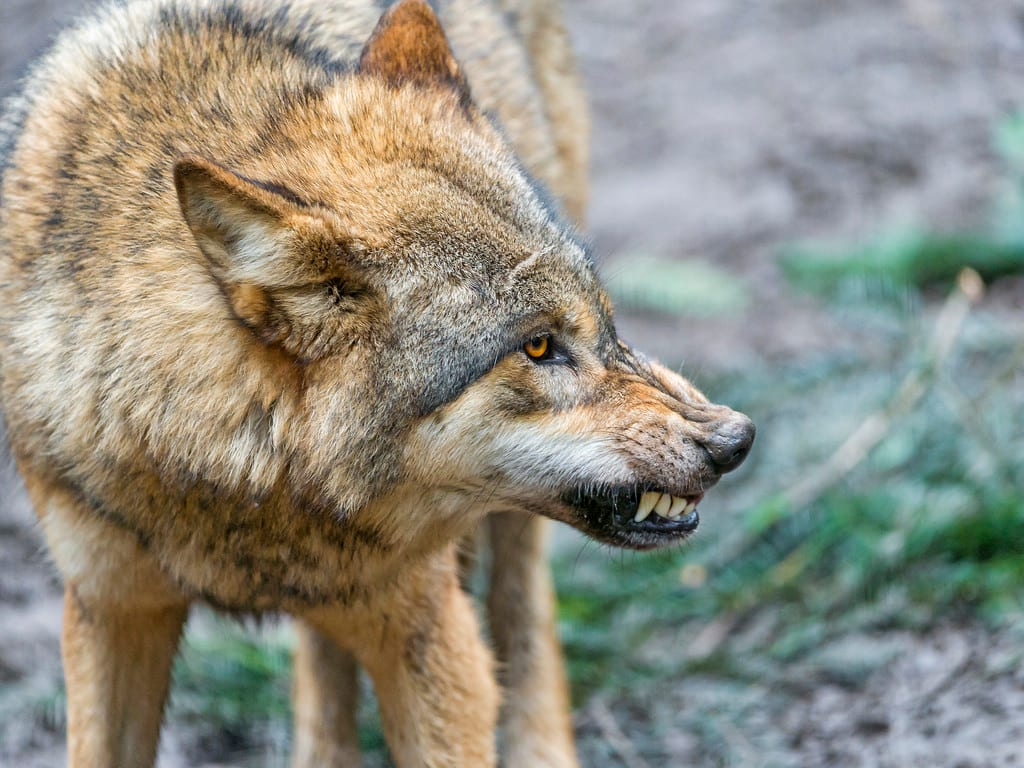 Woman Fends Off A Wolf Attack